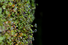Moss with water drops Royalty Free Stock Images