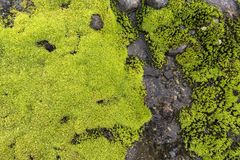 Moss with water drops Stock Images