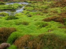 Moss. And water in Svalbard Royalty Free Stock Image