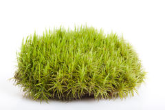 Moss in white background Royalty Free Stock Photos