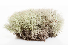 Moss in white background Royalty Free Stock Image