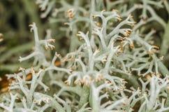 Moss, white lichen, macro, bushy, trunk, bush, plant, body, nature, outdoors, forest Royalty Free Stock Photo