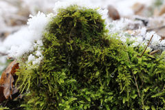 Moss in Winter Stock Image