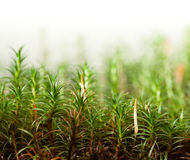 Free Moss With Sporophytes Stock Image - 89303861