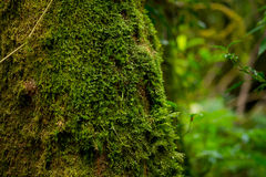 Moss on wood. Moss glow up on tree in forest,Close up shot Royalty Free Stock Photos