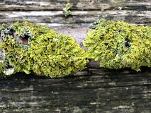 Moss on the wood royalty free stock image