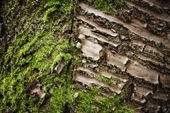 Moss on wood royalty free stock image