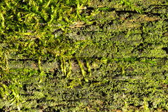 Moss In Wood Texture Background. Close Up of bright green moss in wood texture background stock photography