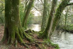 Moss on the woods by the River Fowey Royalty Free Stock Image