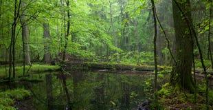 Moss wraped oak trees lying in water Stock Photo