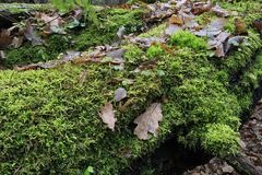 Moss wrapped broken tree closeup Stock Photography