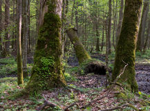 Moss wrapped hornbeams with some sorrel. Whole moss wrapped hornbeams with some sorrel in springtime,Bialowieza Forest,Poland,Europe Royalty Free Stock Images