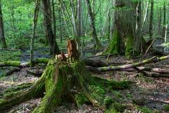 Moss wrapped oak tree stump Stock Photography