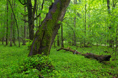 Moss wrapped old inden tree in spring Stock Photo