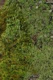 Mossa Arkivfoton
