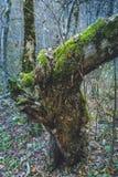 Mossa för höstskogträd på ett träd royaltyfria bilder
