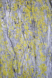 Mossa för trädskäll Fotografering för Bildbyråer