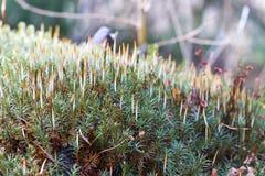 Mossa, hårlockmossa eller hårmossa på jordningen, closeup royaltyfria foton