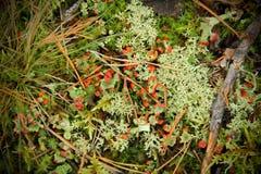 Mossa i skogen som beströs med ris och, sörjer visare Arkivfoto