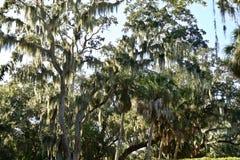 Mossa i träden av Florida arkivfoton