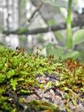 Mossa och lav i skogen i sommarnärbilden Royaltyfria Bilder