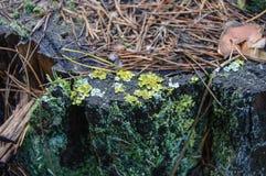 Mossa och lav på en trädstubbe Arkivfoton