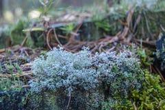 Mossa och lav på en trädstubbe Arkivbilder