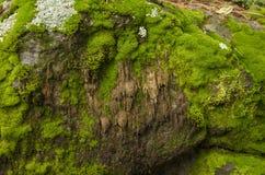 Mossa och lav täckte stenar Royaltyfri Foto