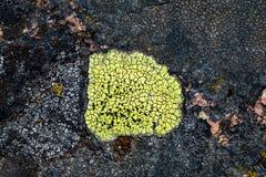 Mossa och laven växer på en sten Makro bakgrund av den Lichen Moss stenen royaltyfri bild