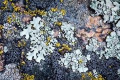 Mossa och laven växer på en sten Makro bakgrund av den Lichen Moss stenen fotografering för bildbyråer