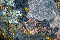 Mossa och laven växer på en sten Makro bakgrund av den Lichen Moss stenen arkivfoto