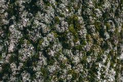 Mossa- och lavtextur på ekskäll Organisk abstrakt textur och bakgrund för design Closeupsikt av ekskället Royaltyfria Foton