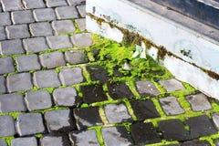 Mossa och sakral fikonträd som växer på cementgolv och bredvid polen med att flöda för vatten eller fuktiga områden fotografering för bildbyråer