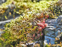 Mossa och skrevan spirar i sommarskogslut upp Royaltyfri Foto