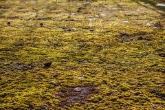Mossa på asfalten Lav på jordningen Mossa för bakgrund Arkivbilder
