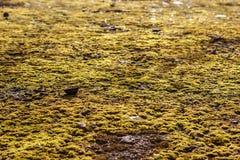 Mossa på asfalten Lav på jordningen Mossa för bakgrund Royaltyfri Bild