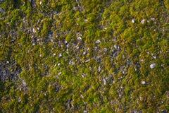 Mossa på asfalten Lav på jordningen Mossa för bakgrund arkivbild