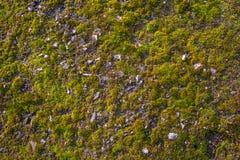 Mossa på asfalten Lav på jordningen Mossa för bakgrund Arkivfoton