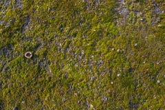 Mossa på asfalten Lav på jordningen Mossa för bakgrund Fotografering för Bildbyråer