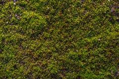 Mossa på asfalten Lav på jordningen Mossa för bakgrund Royaltyfri Fotografi