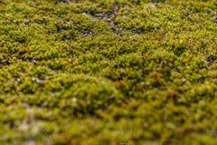 Mossa på asfalten Lav på jordningen Mossa för bakgrund Royaltyfri Foto