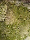 Mossa på den gamla väggen Royaltyfri Bild