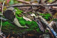 Mossa på en inloggning höstskogen Royaltyfri Foto