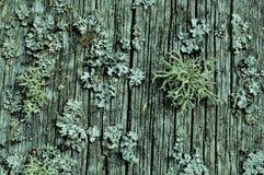 mossa på ett gammalt staket, blickar som för gamlingtid för koraller grå färger för grå färger för den härliga gamla retro åldern royaltyfri foto