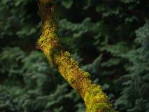 Mossa på ett gammalt träd Arkivbilder