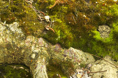 Mossa på ett klippbrants- i skogen Arkivbild