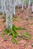 mossa på rota av trädet i höst Royaltyfri Bild