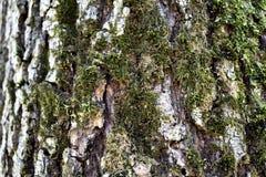 Mossa på träd Arkivbild