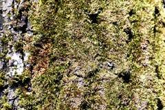 Mossa på träd Royaltyfria Bilder
