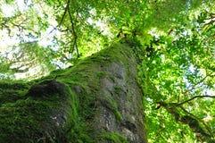 Mossa på träd arkivbilder